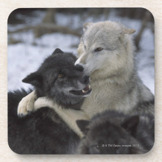 USA, Montana, Wolves playing in snow Beverage Coasters