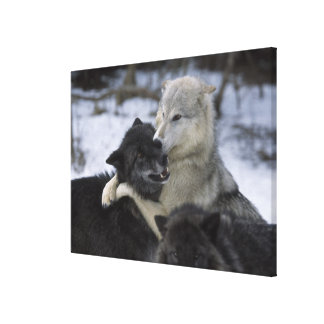 USA, Montana, Wolves playing in snow Canvas Print
