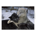 USA, Montana, Wolves playing in snow Greeting Card
