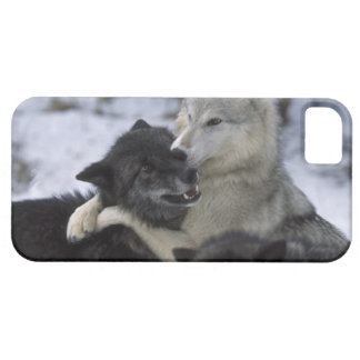 USA, Montana, Wolves playing in snow iPhone 5 Case