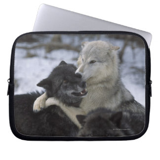 USA, Montana, Wolves playing in snow Laptop Sleeve