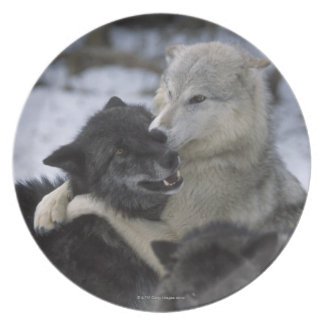 USA, Montana, Wolves playing in snow Plate