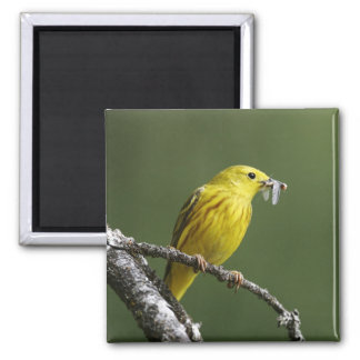 USA, Montana, yellow warbler Dendroica Square Magnet