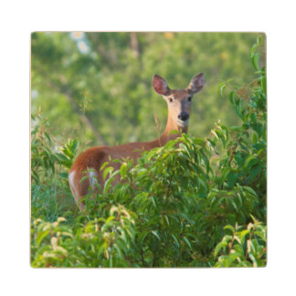 USA, Nebraska, White Tail Doe On Hill Wood Coaster