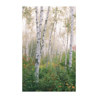 USA, New Hampshire. Birch trees in clearing fog Canvas Print