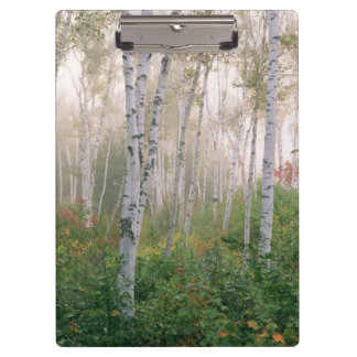 USA, New Hampshire. Birch trees in clearing fog Clipboard