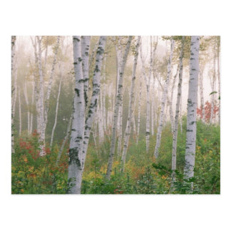 USA, New Hampshire. Birch trees in clearing fog Postcard