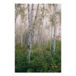 USA, New Hampshire. Birch trees in clearing fog Poster