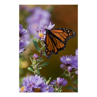 USA, New Hampshire. Monarch butterfly on aster Poster