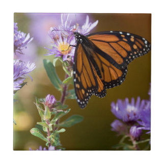 USA, New Hampshire. Monarch butterfly on aster Tile