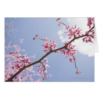 USA, New Jersey, Eastern Redbud Tree Card