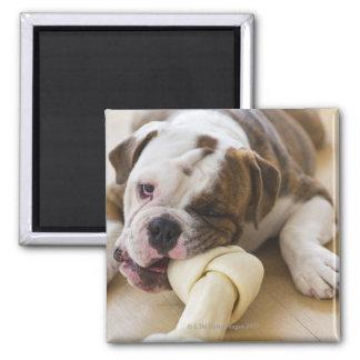 USA, New Jersey, Jersey City, Cute bulldog pup 2 Magnet