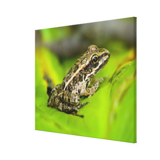 USA, New Jersey, Morristown. Young Pickerel Frog Canvas Print