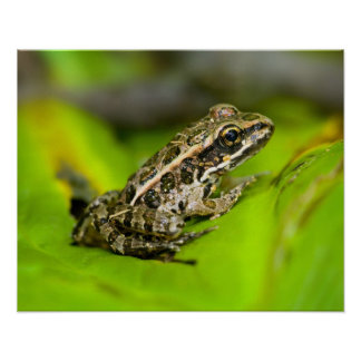 USA, New Jersey, Morristown. Young Pickerel Frog Poster