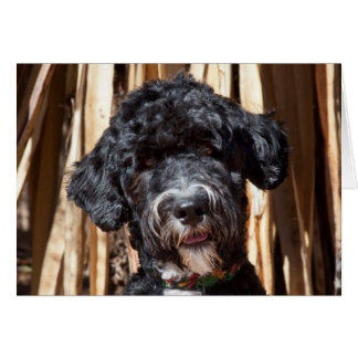 USA, New Mexico. Portuguese Water Dog Portrait Card