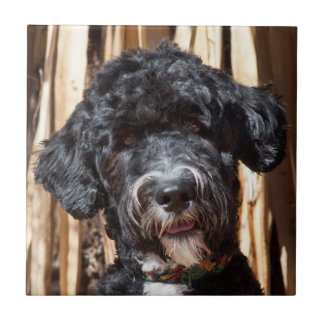 USA, New Mexico. Portuguese Water Dog Portrait Tile
