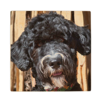 USA, New Mexico. Portuguese Water Dog Portrait Wood Coaster