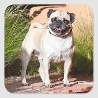 USA, New Mexico. Pug Standing In High Grasses Square Sticker