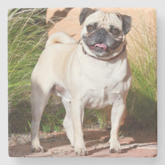USA, New Mexico. Pug Standing In High Grasses Stone Coaster