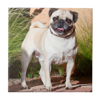 USA, New Mexico. Pug Standing In High Grasses Tile