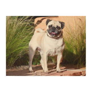 USA, New Mexico. Pug Standing In High Grasses Wood Canvas