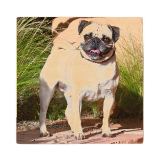 USA, New Mexico. Pug Standing In High Grasses Wood Coaster