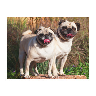 USA, New Mexico. Two Pugs Standing Together Stretched Canvas Prints