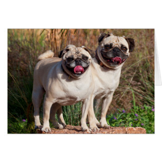 USA, New Mexico. Two Pugs Standing Together Card