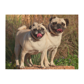 USA, New Mexico. Two Pugs Standing Together Wood Wall Art