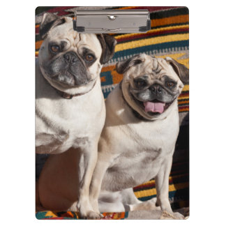 USA, New Mexico. Two Pugs Together Clipboard