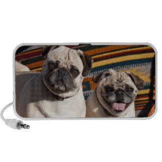 USA, New Mexico. Two Pugs Together Travelling Speaker