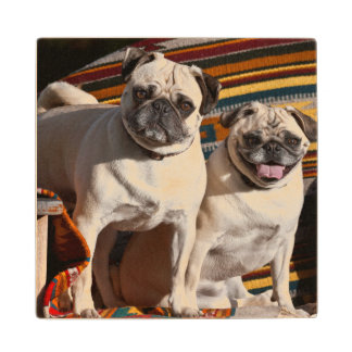 USA, New Mexico. Two Pugs Together Wood Coaster