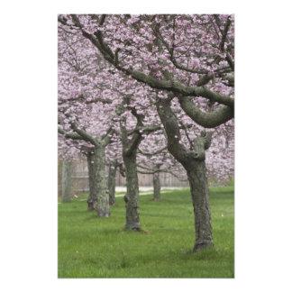 USA, New York, East Hampton. Cherry trees in Photo Art
