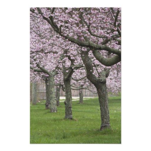 USA, New York, East Hampton. Cherry trees in Photographic Print