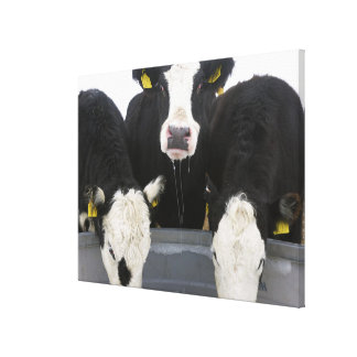 USA, New York State, Cows drinking from frozen Canvas Print