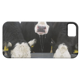USA, New York State, Cows drinking from frozen iPhone 5 Covers