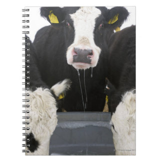 USA, New York State, Cows drinking from frozen Notebook