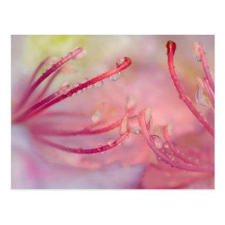 USA, North Carolina. Catawba rhododendron with Postcard