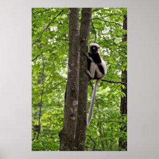 USA, North Carolina, Duke Lemur Center 2 Poster