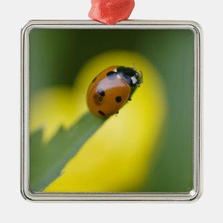 USA, North Carolina, Ladybug on tip of leaf. Christmas Ornament