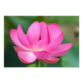 USA; North Carolina; Lotus blossom Photo Print