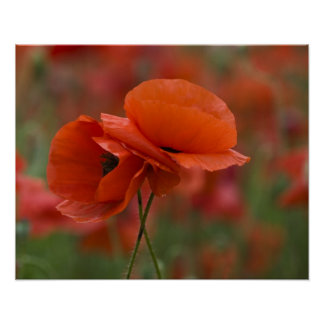 USA, North Carolina. Two red poppies Poster