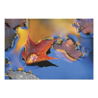 USA, Northeast, Maple Leaf in Reflection Photo Print