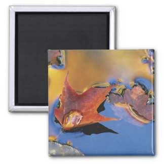 USA, Northeast, Maple Leaf in Reflection Square Magnet
