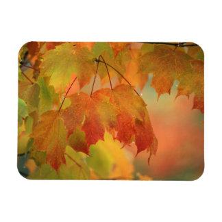 USA, Northeast, Maple Leaves in Rain. Credit as: Rectangular Photo Magnet