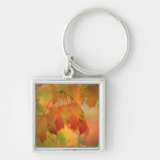 USA, Northeast, Maple Leaves in Rain. Credit as: Key Ring