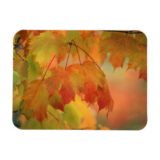USA, Northeast, Maple Leaves in Rain. Credit as: Magnet