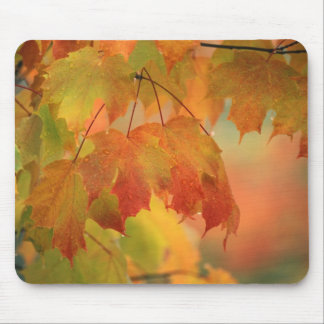 USA, Northeast, Maple Leaves in Rain. Credit as: Mouse Mat