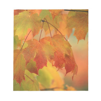 USA, Northeast, Maple Leaves in Rain. Credit as: Notepad