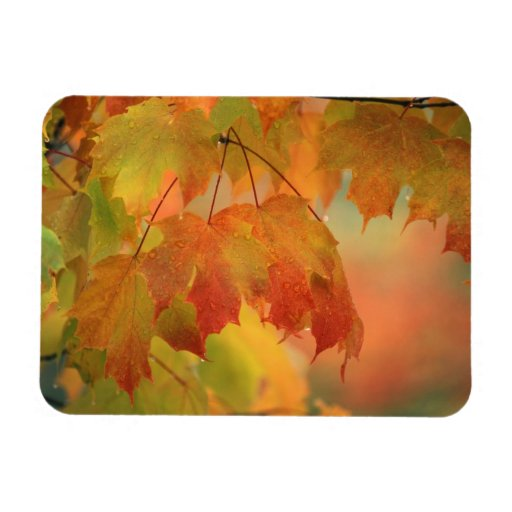 USA, Northeast, Maple Leaves in Rain. Credit as: Rectangle Magnets